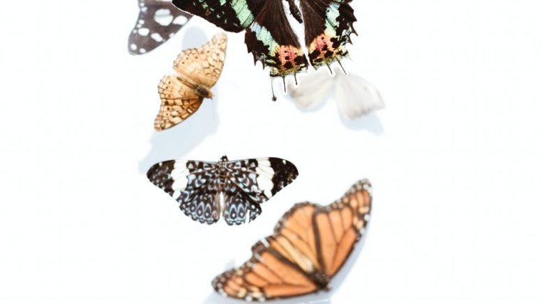 animal antenna biology butterfly