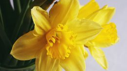 yellow daffodils in clear glass vase