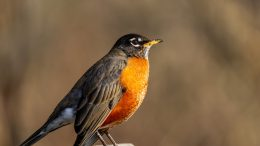 american robin with orange belly on beige background