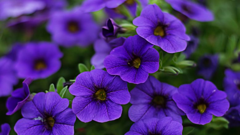 close up photography of purple petunia flowers