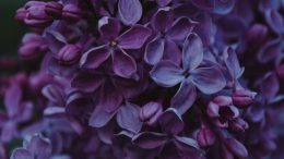 close up photo of purple lilac flowers