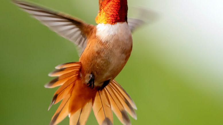 focus photography of flying hummingbird